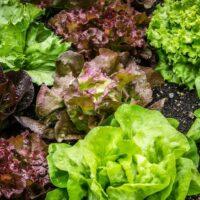 salades variées